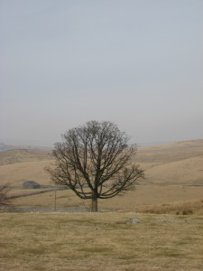 A solitary tree in a Yorkshire field